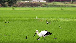 Video about Kounotori Oriental White Stork