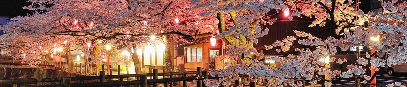 Spring time in Kinosaki Onsen Sakura Cherry blossoms