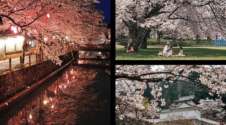 Spring Cherry blossoms sakura in Kannabe Kinosaki Onsen and Izushi
