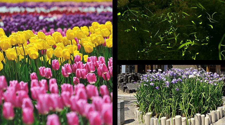 Spring in Tanto Kannabe and Kinosaki Onsen Tulip Festival Fireflies