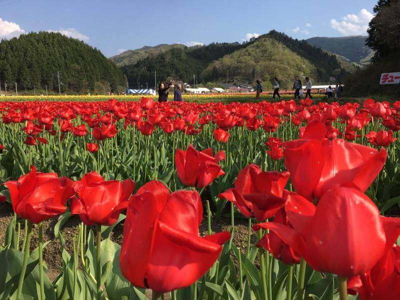 Tanto Tulip Festival 2018