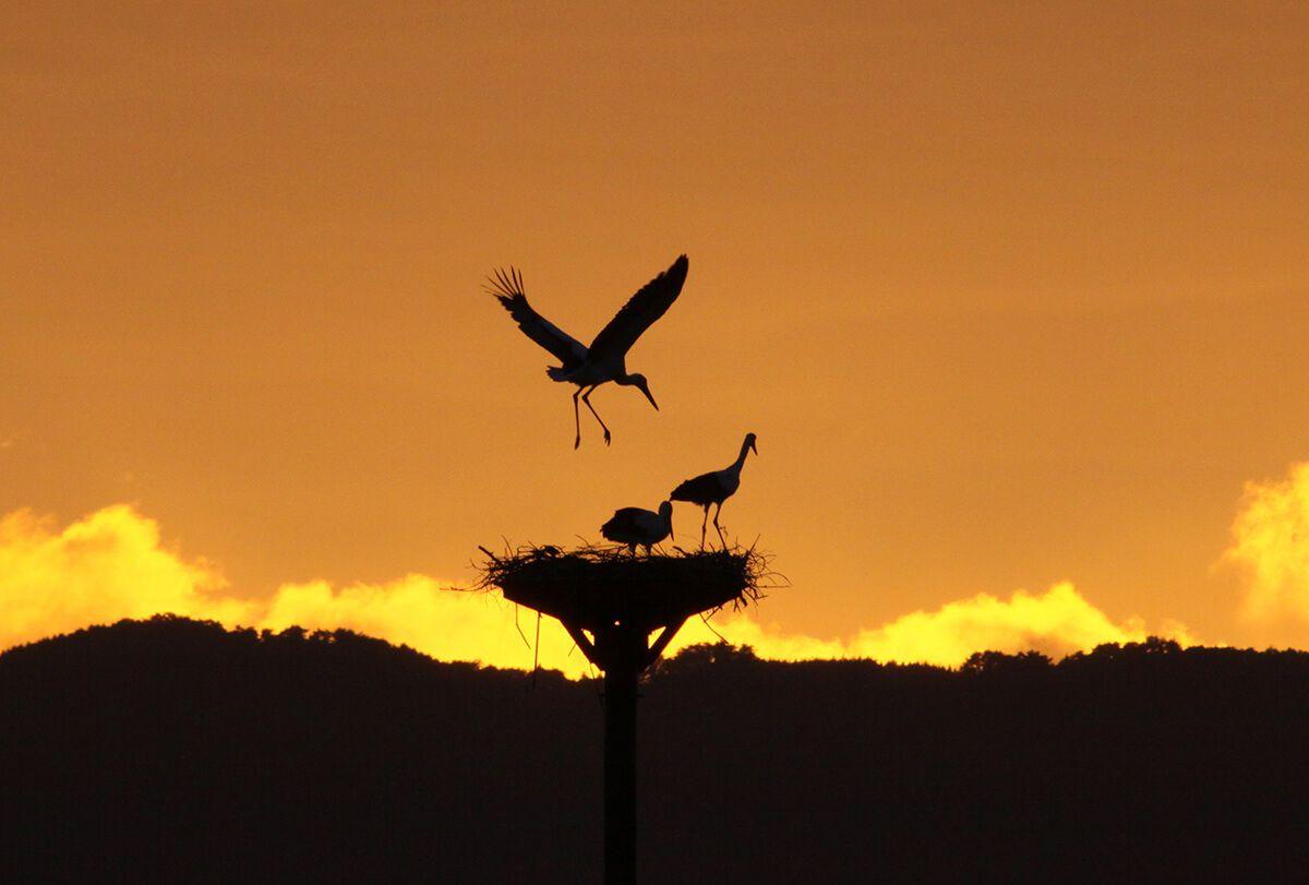 Oriental White Stork Preservation