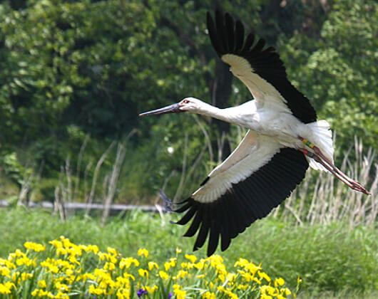 About the Oriental White Stork