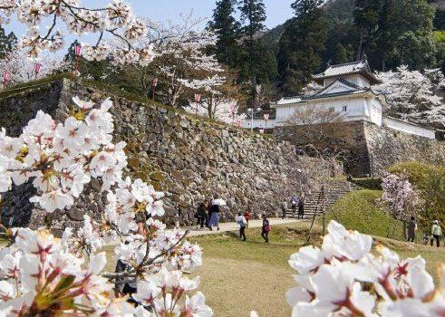 Cherry Blossoms Surrounding Izushi's Castle Ruins