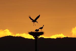 Oriental White Stork