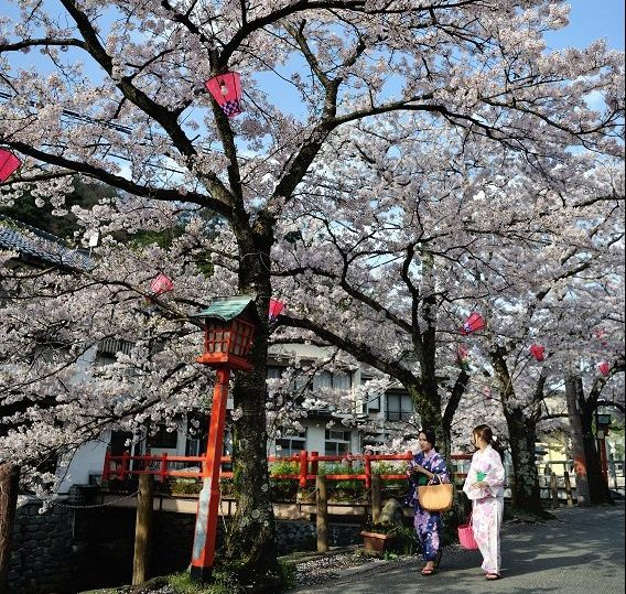 Strolling alongside sakura (cherry blossom) trees