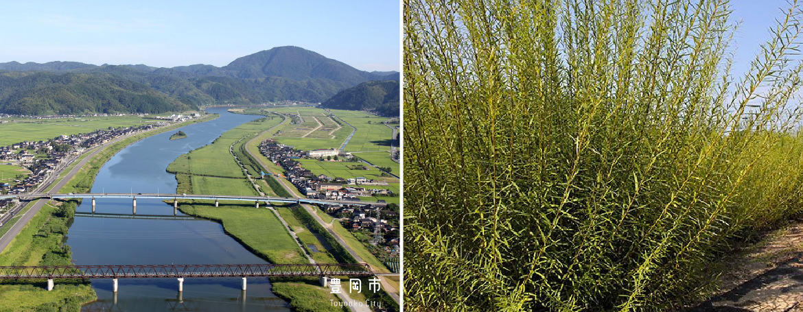Two pictures next to eachother. One shows Toyooka's Marugawa river, the other shows brush of Salix koriyanagi, an East Asian species of willow used primarily in basket-weaving